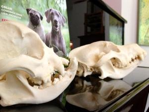 Bild 1 Mops und Schäferhund-Schädel