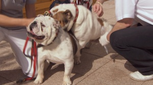 Bulldog Absamung