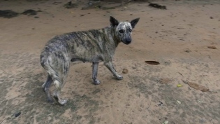 Pariah dog at Angkor wat (actually looks quite a bit like a shakal