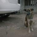 village dog1