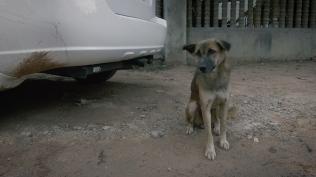 Village dog in Siem Reap